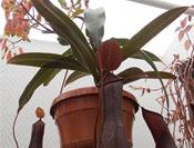 Nepenthes 'rebecca soper'